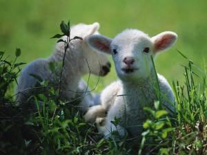 fdbd9-lambs