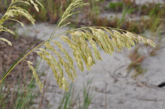 Sea oats in coastal South Carolina