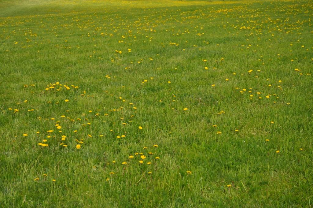 Dandelions!