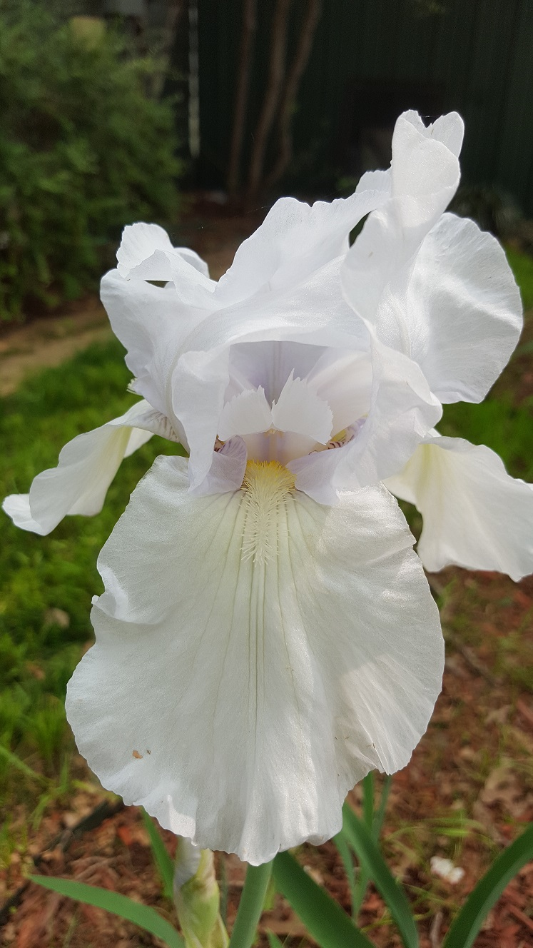 iris 1