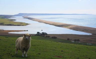 sheep-2126667_1920