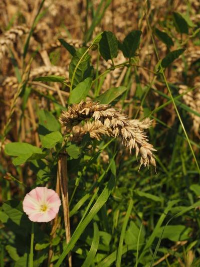 wheat-609909_1920