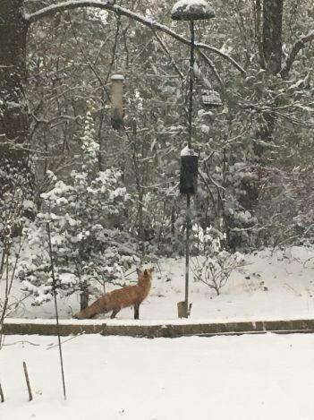 fox_at_bird_feeder