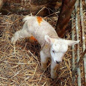 lambs - Nikki