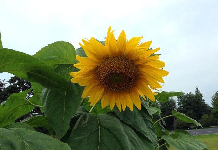 close up sundflower edited