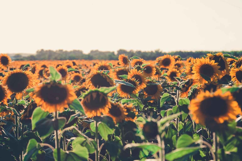 sunflower meadow