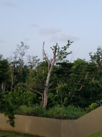 tree after Maria