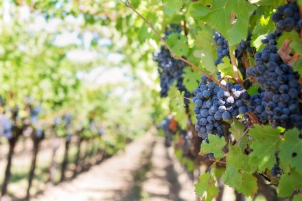 grapes-on-vineyard-during-daytime-39351