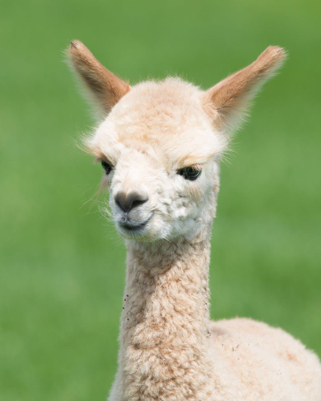 photo of a llama