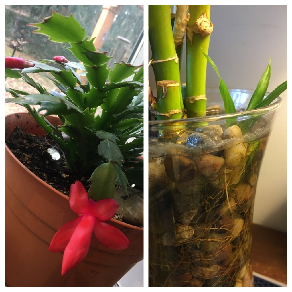 A red Christmas cactus and a lucky bamboo plant