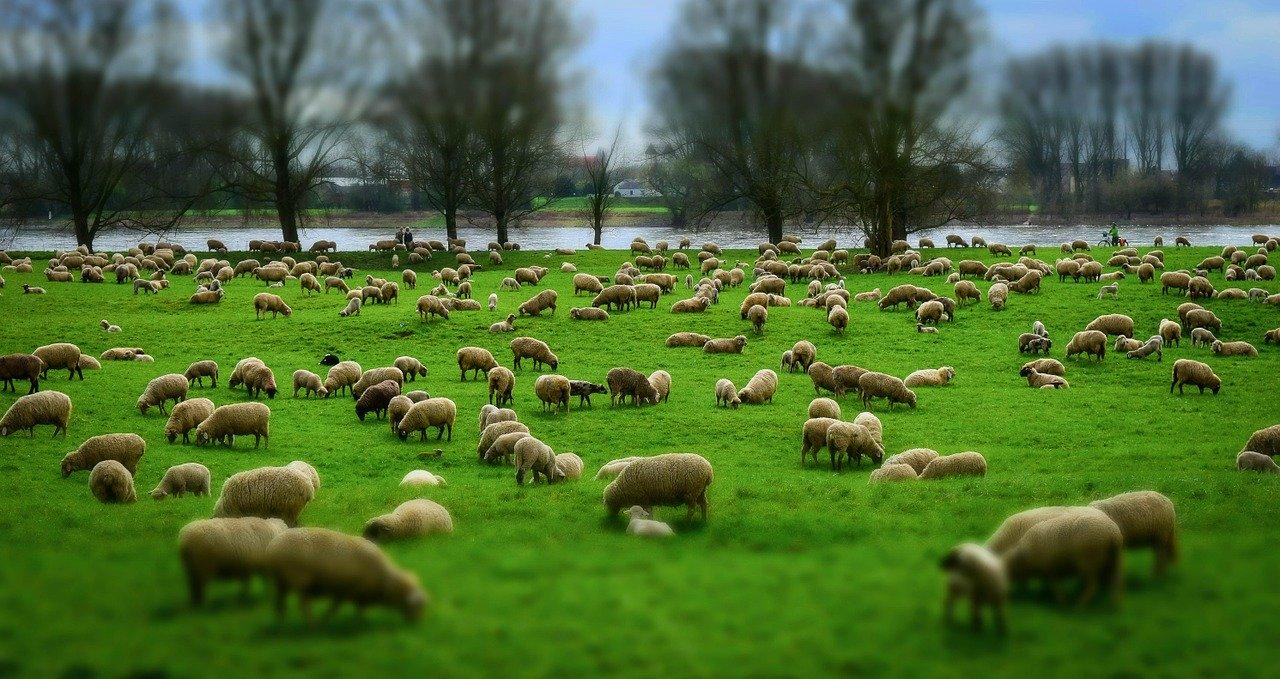 sheep-1305432_1280