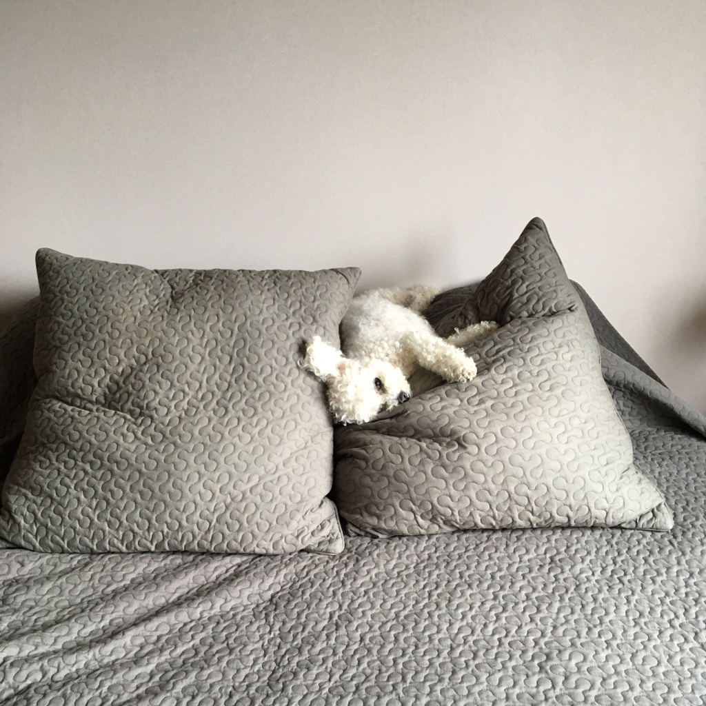 A small dog with curly white hair is lying on a pile of pillows that are several times larger than her. It seems like an awkward angle, but she is pretty determined to lie there.