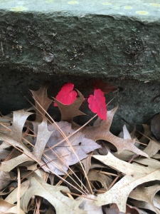 Two small red leaves from a maple seedling