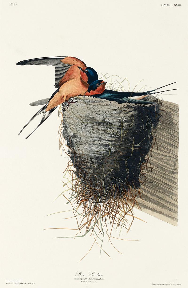 Barn Swallow from Birds of America (1827) by John James Audubon
