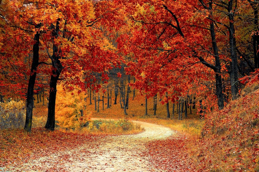 A picture of trees with fall leaves and a forest path